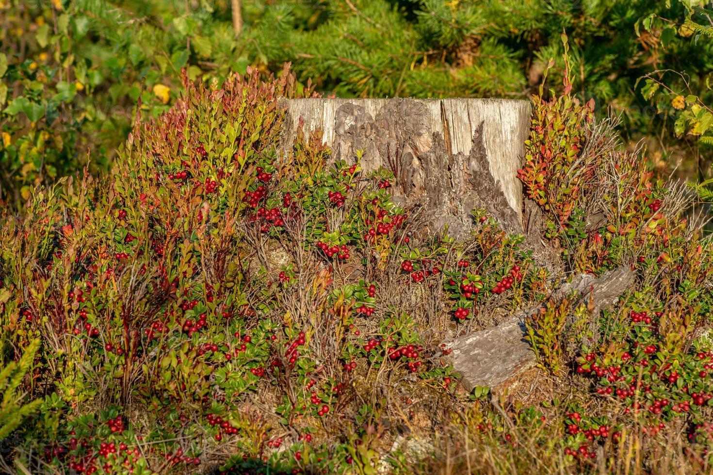 ceppo coperto di piante foto