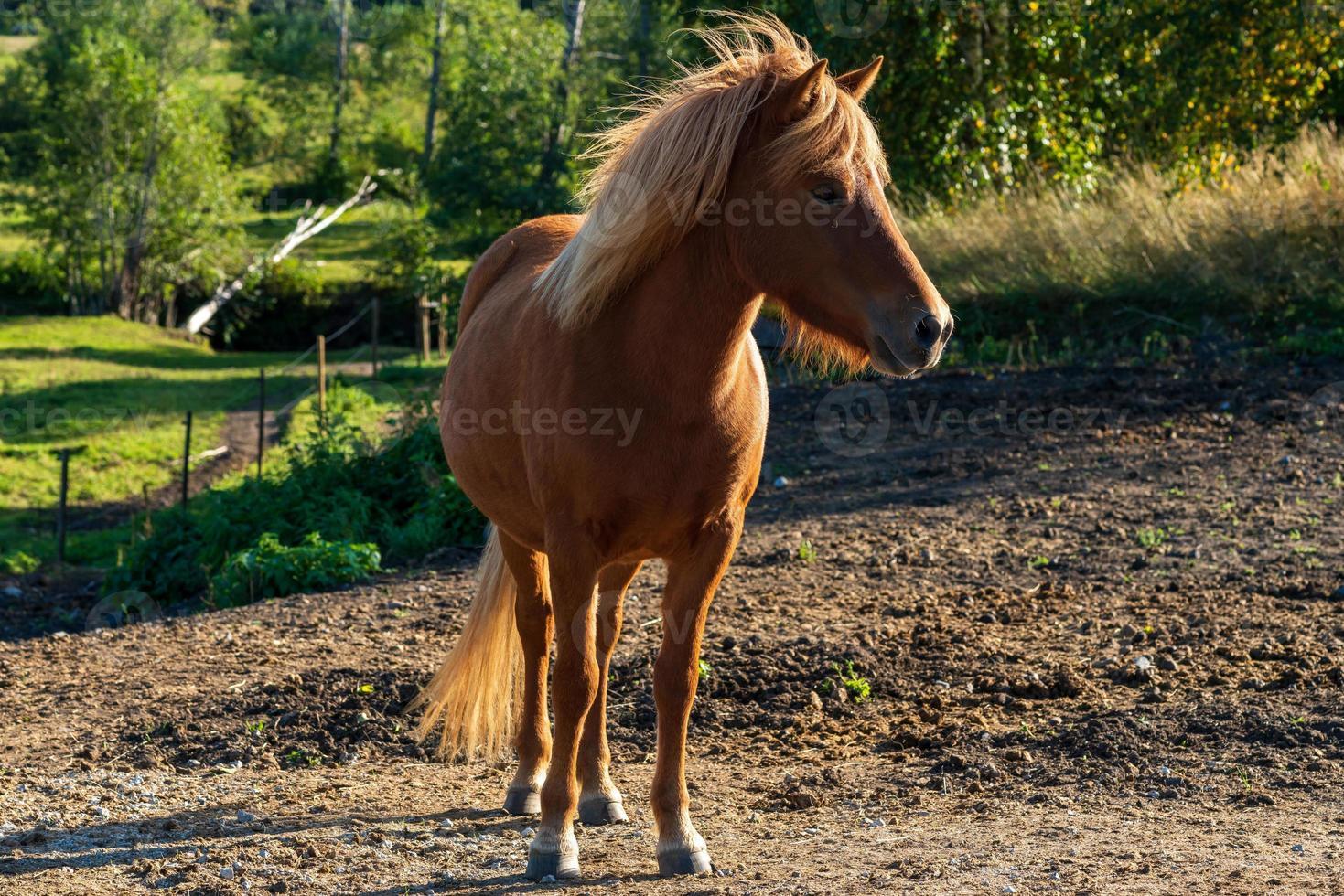 bellissimo cavallo islandese color castagna in un pascolo estivo foto