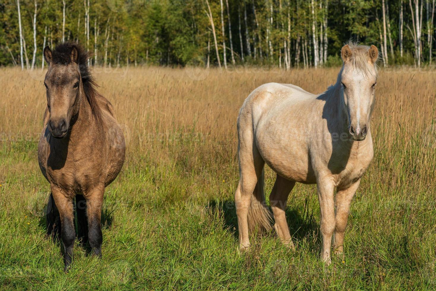cavalli islandesi in piedi nell'erba alta in un pascolo soleggiato foto