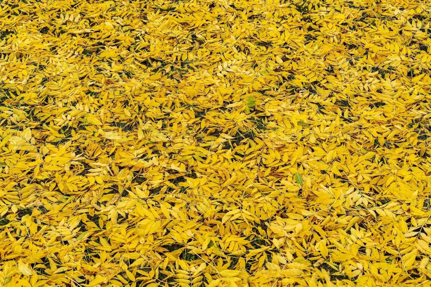 terreno pieno di vibranti foglie di frassino giallo foto