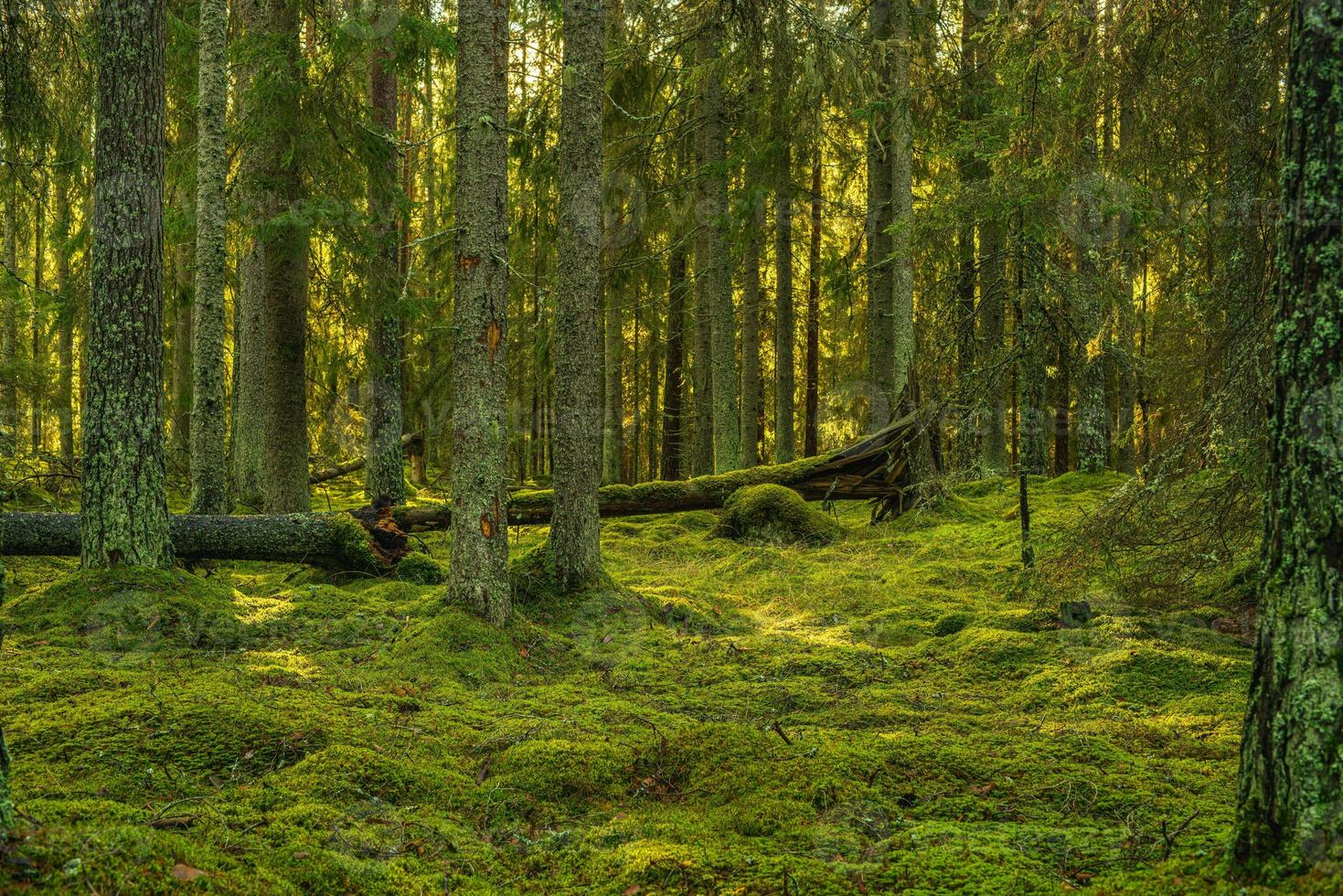 bella foresta verde di pini e abeti in Svezia foto