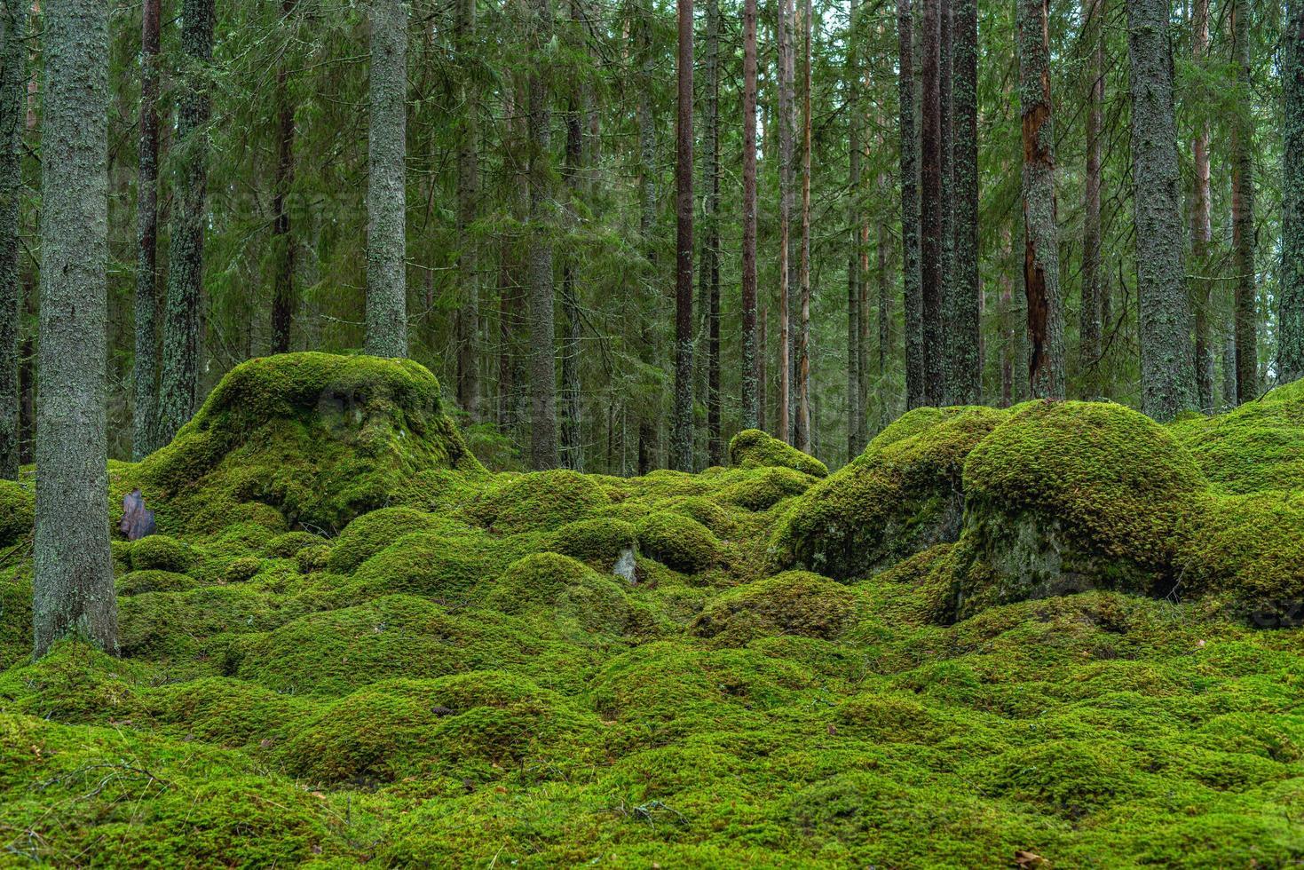 bella foresta di abeti con muschio verde foto