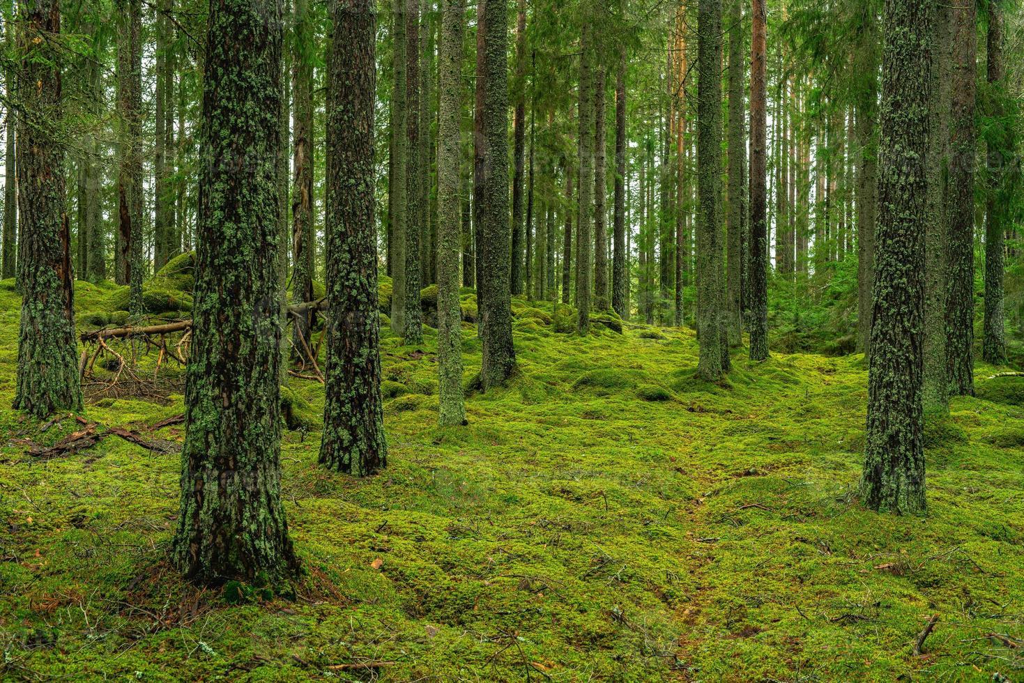 bella foresta di pini e abeti con muschio sul suolo della foresta foto