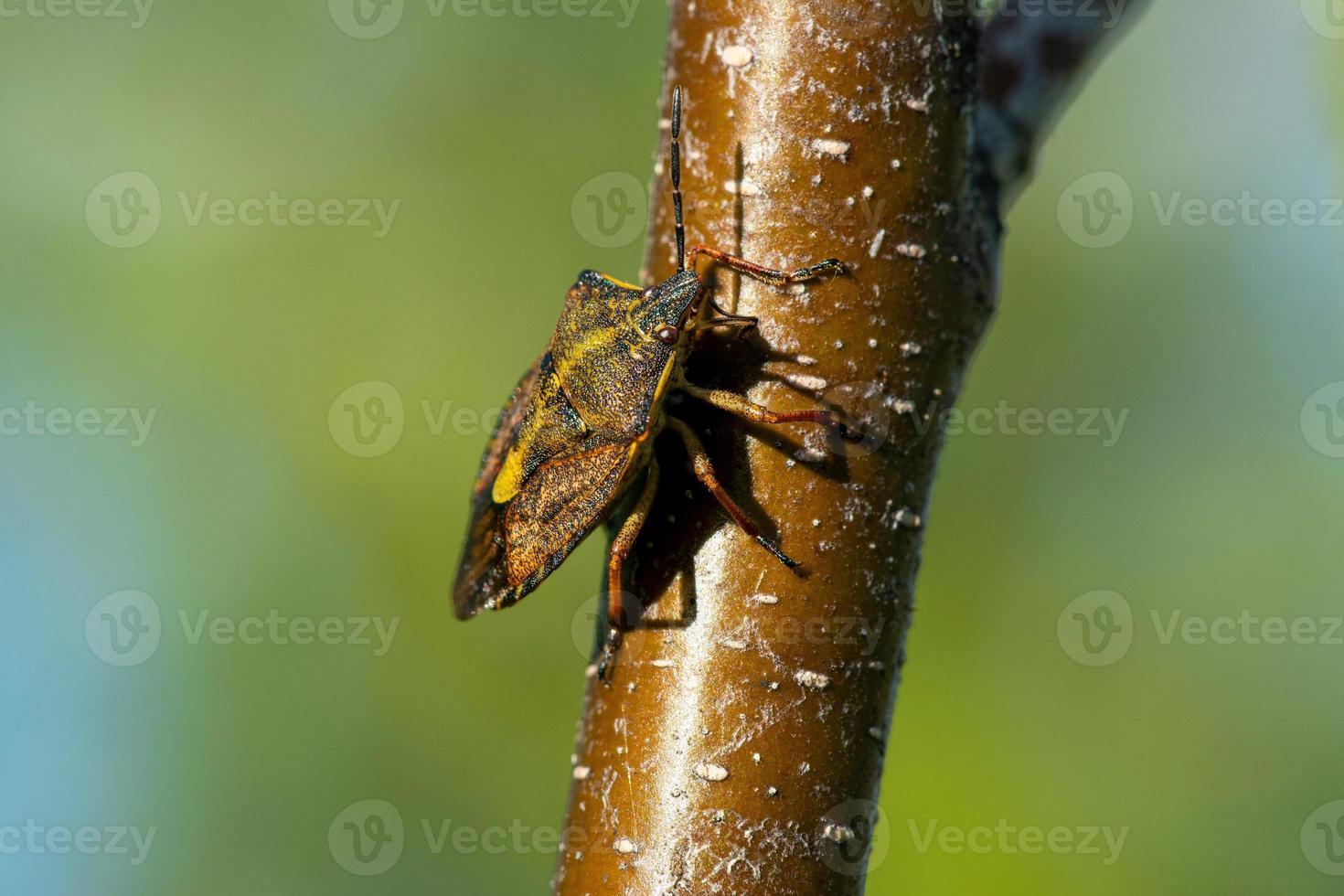 scudo bug nella luce del sole primaverile foto