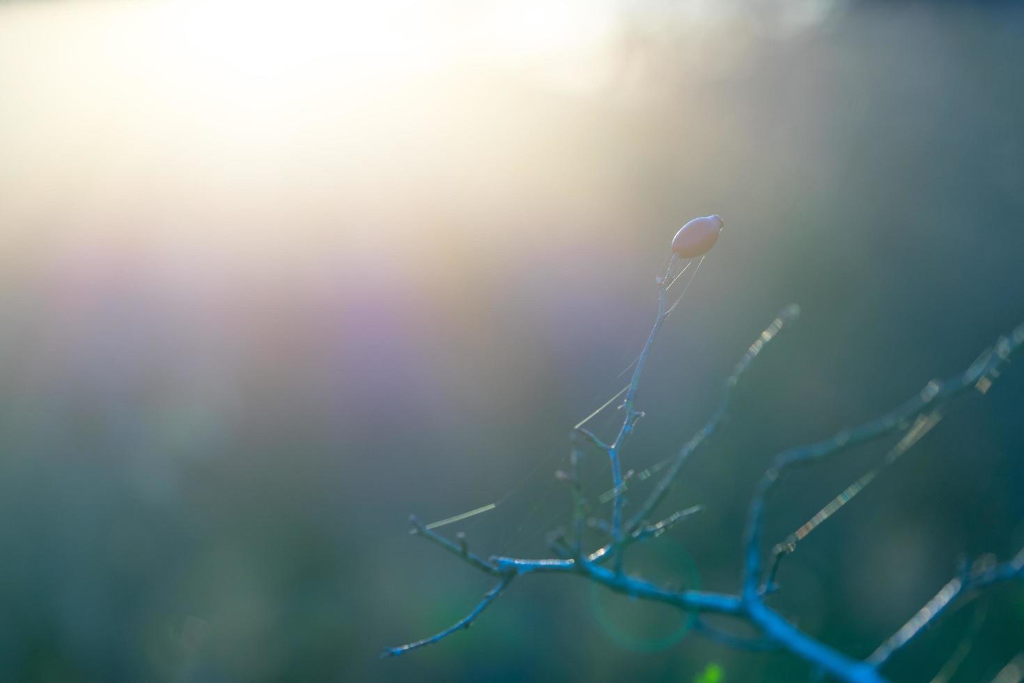 il ramo di rosa selvatica retroilluminato in un morbido sfondo grigio-blu foto