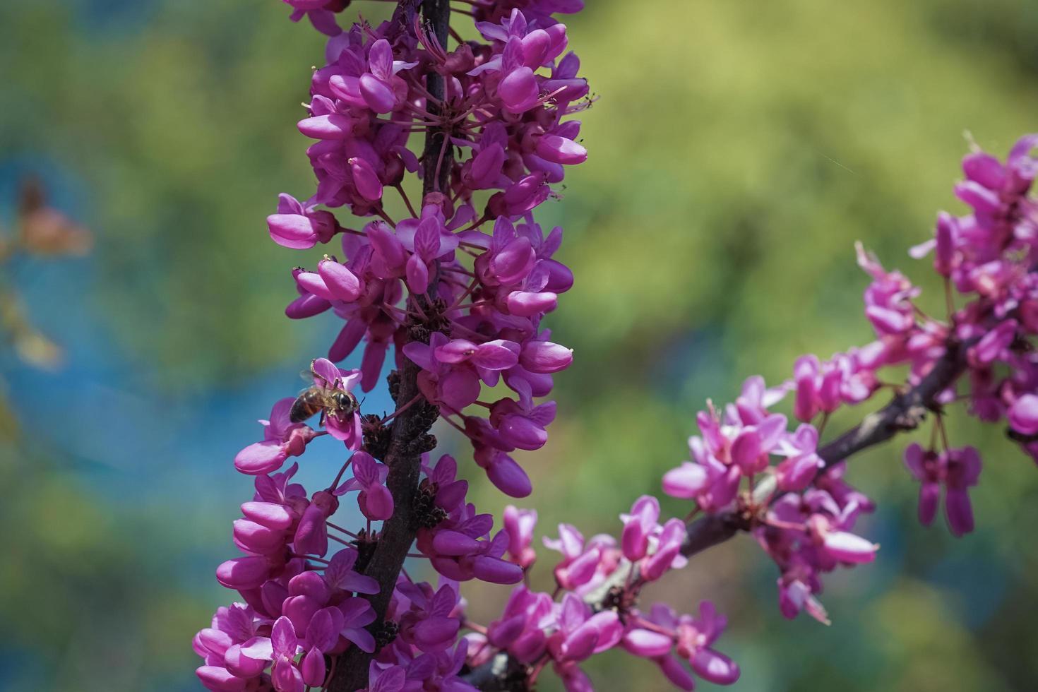fiori rosa cercis sui rami sottili foto