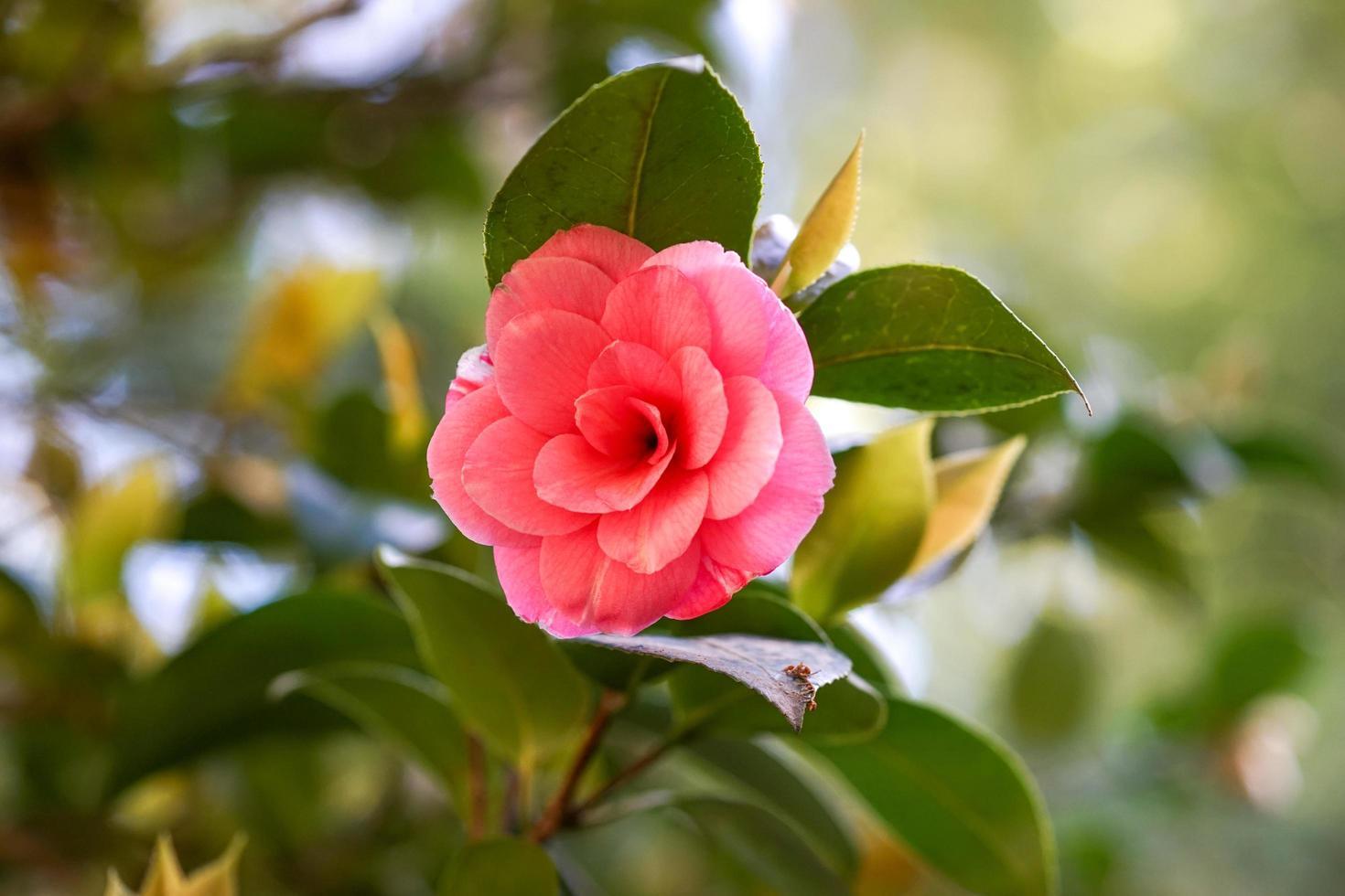 bellissimo fiore rosa di camelia giapponese foto
