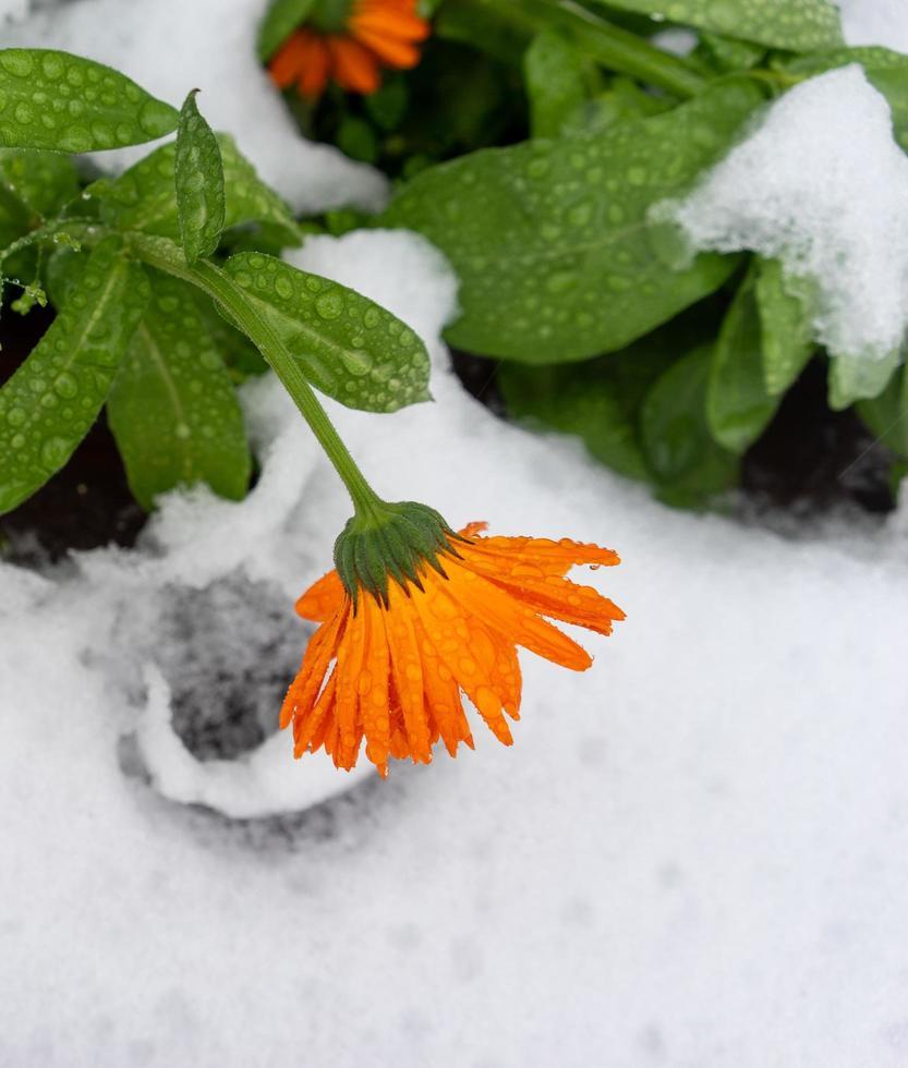 fiori di calendula in gocce d'acqua sulla prima neve foto