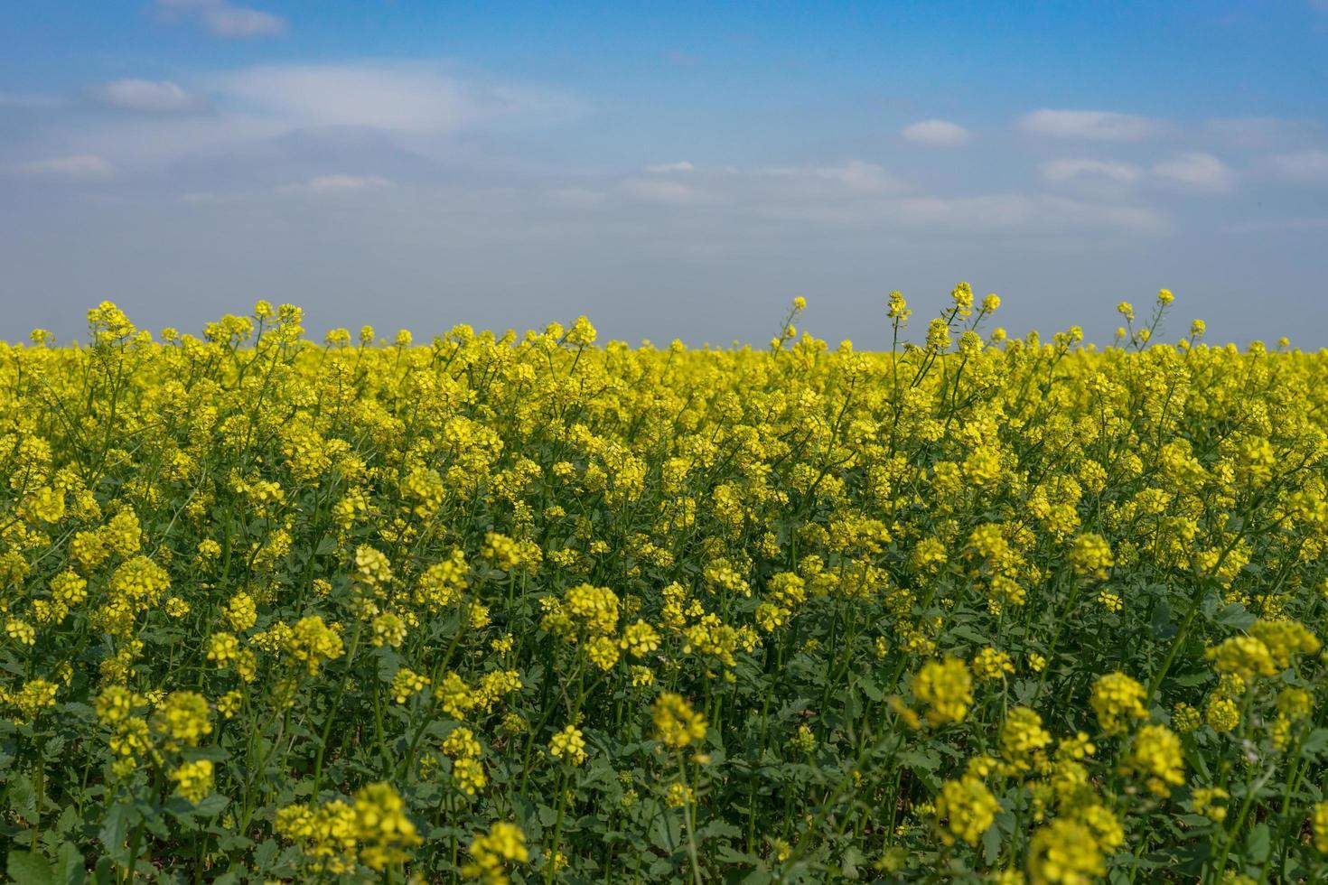paesaggio naturale con un campo di colza. foto