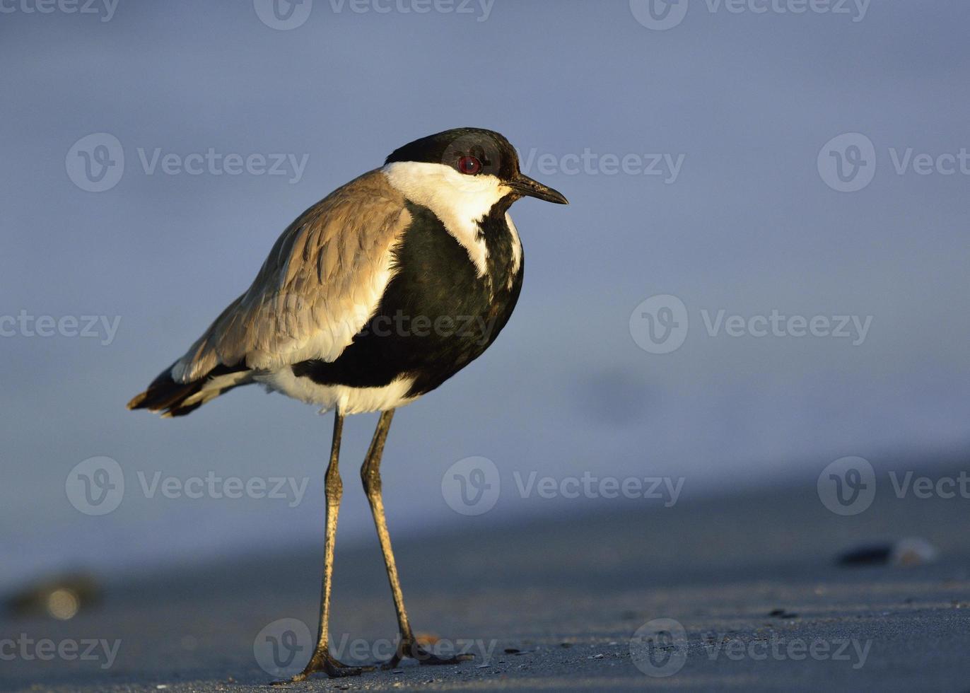 pavoncella dalle ali speronate sulla sabbia foto
