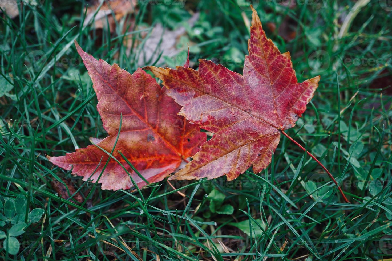 foglie di acero rosso nella stagione autunnale foto
