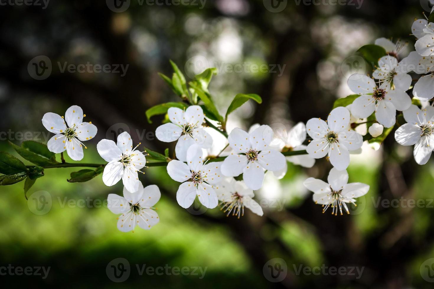 prugnolo piccoli fiori bianchi che sbocciano sul ramo su sfondo sfocato foto