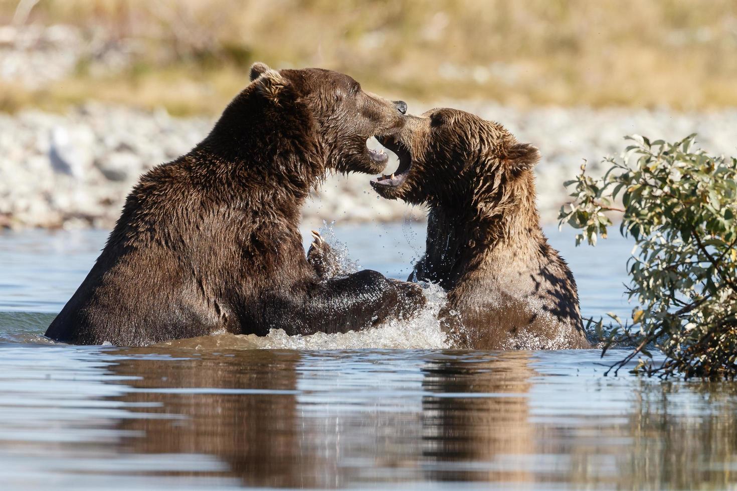 orso grizzle nella natura dell'Alaska foto