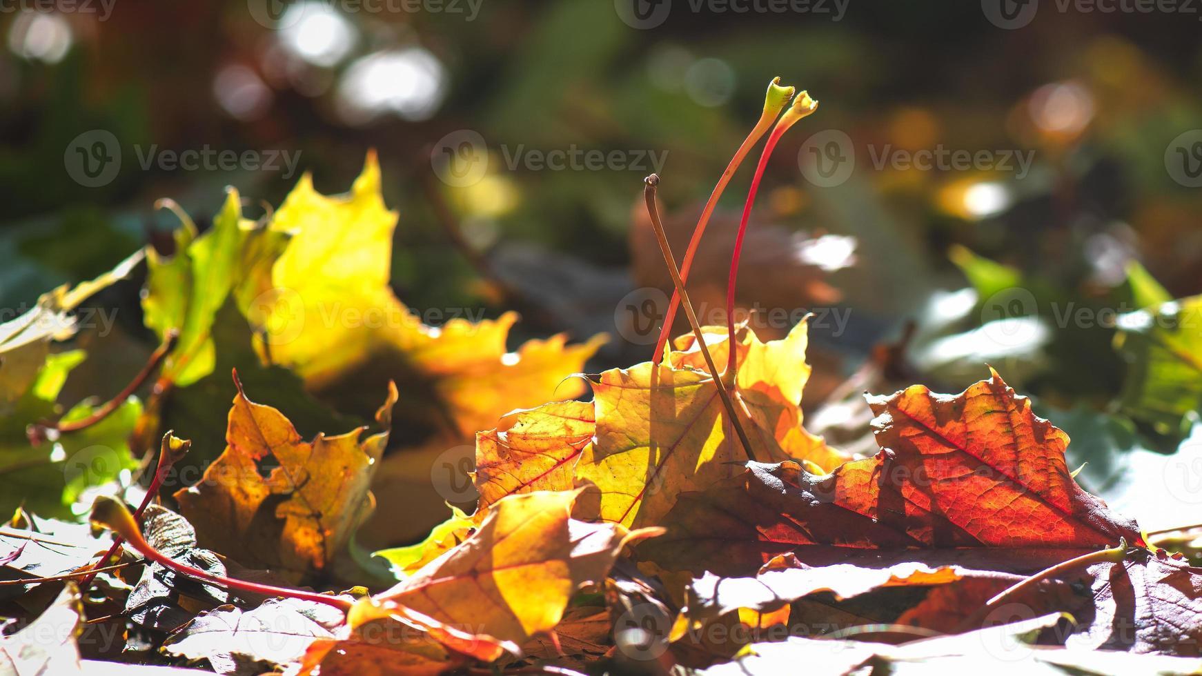 il sole illumina le foglie autunnali colorate di recente cadute foto