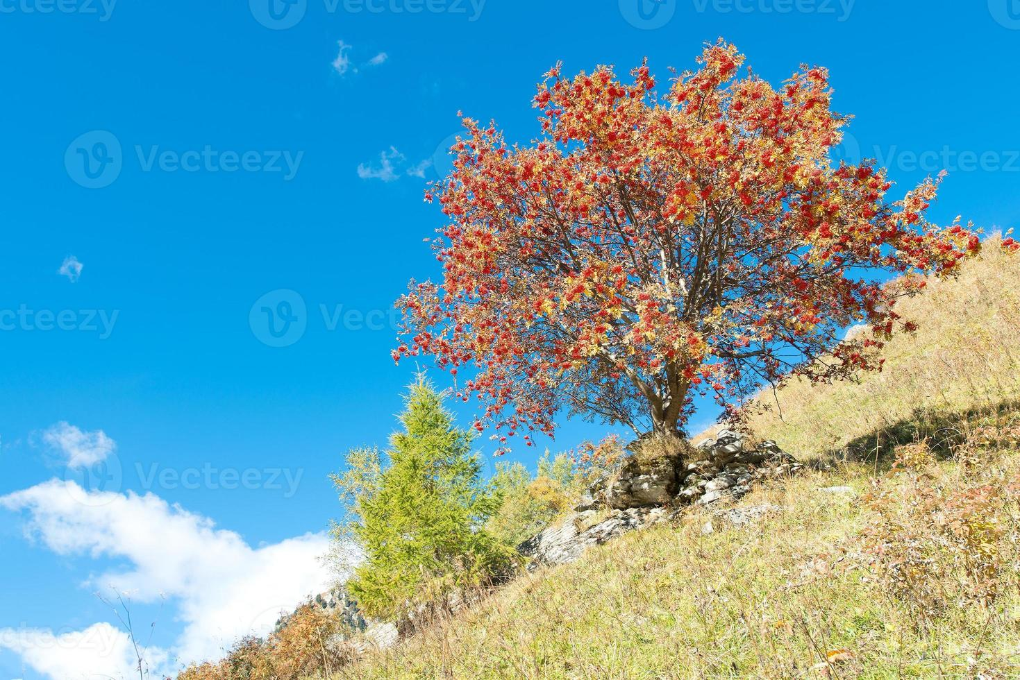 pianta di sorbus aucuparia foto
