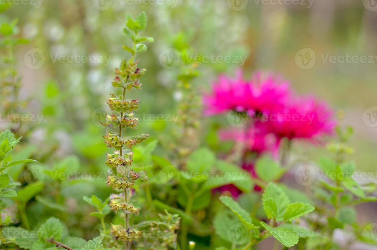 primo piano fiore rosa sul giardino in ucraina foto