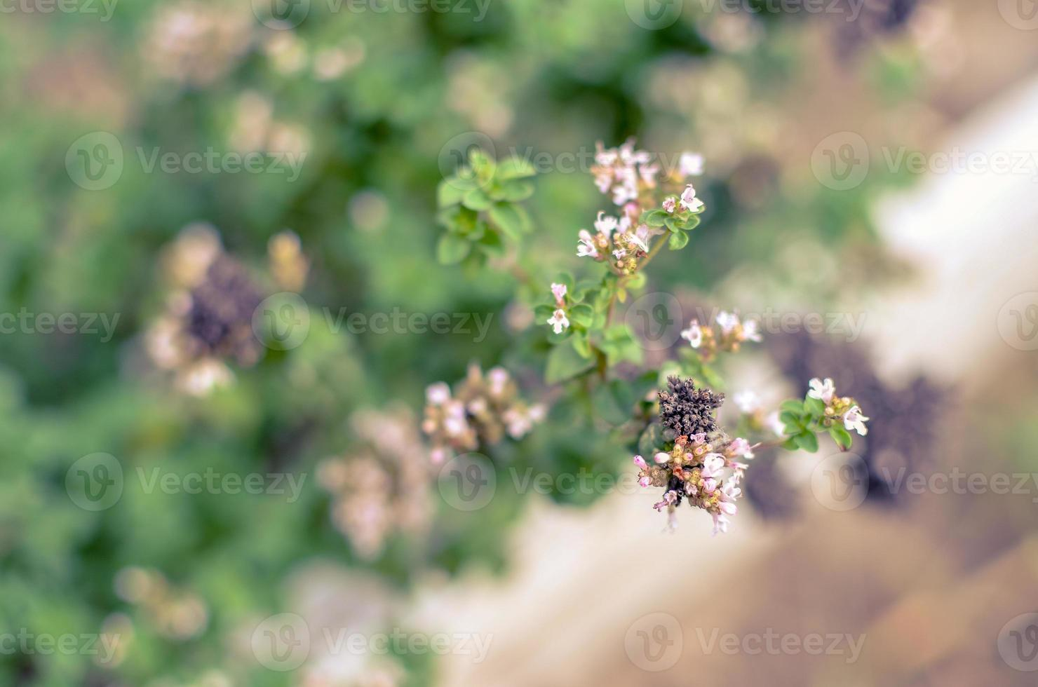 thymus serpyllum fiorisce in giardino, primo piano foto