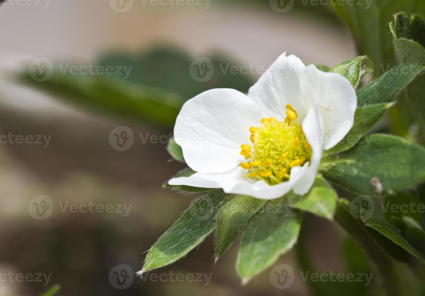 primo piano del fiore di fragola foto