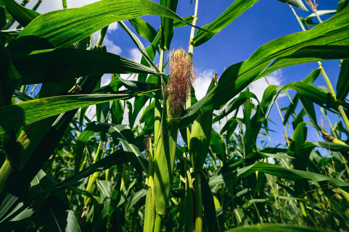 vista del campo di mais dell'agricoltura foto