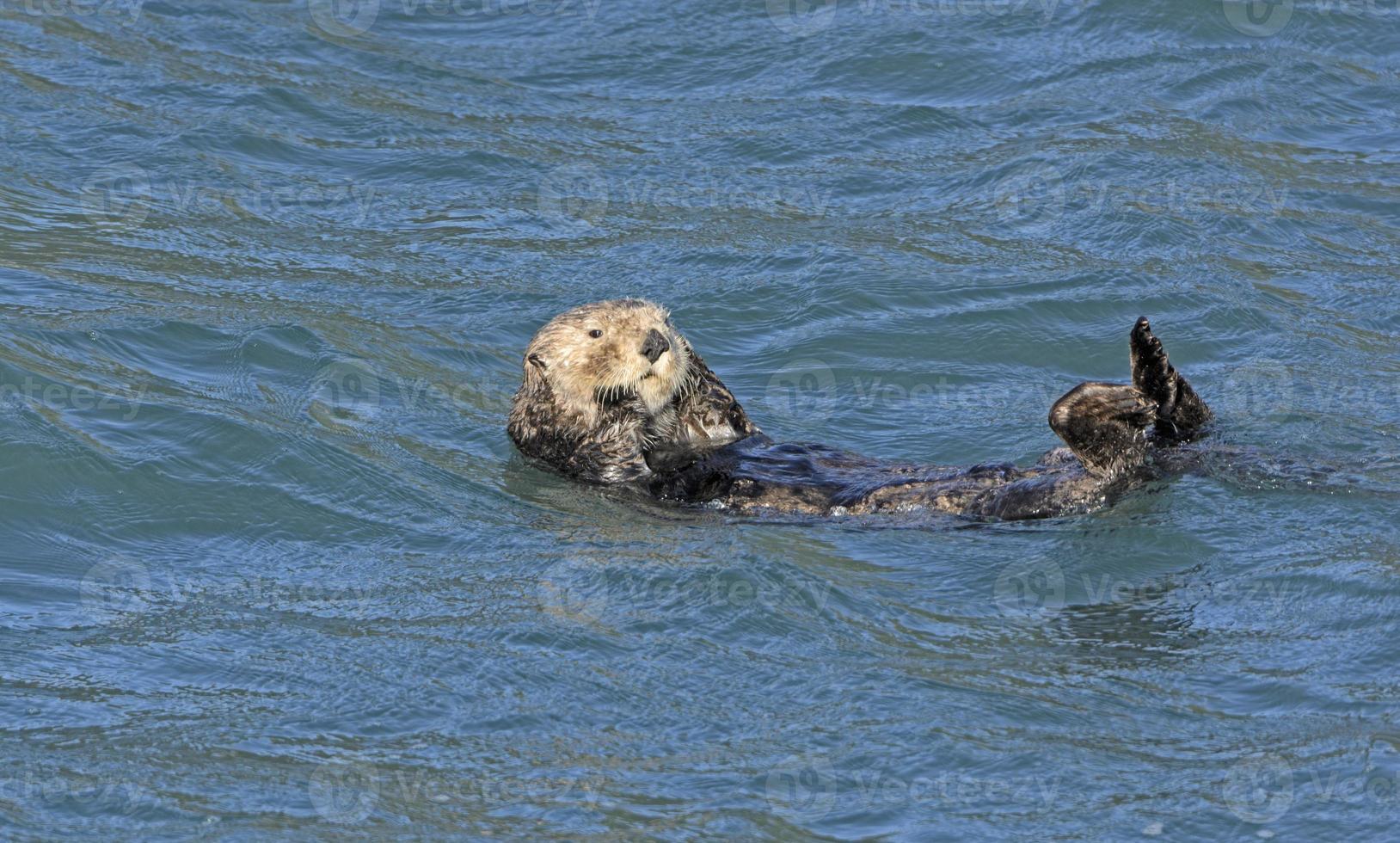 lontra di mare che si pavoneggia nell'oceano foto