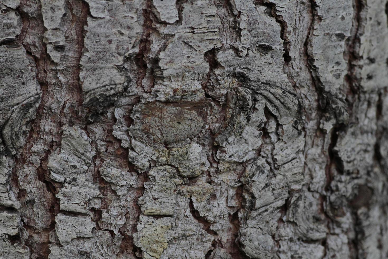 bellissimo sfondo, corteccia di un vecchio pino foto