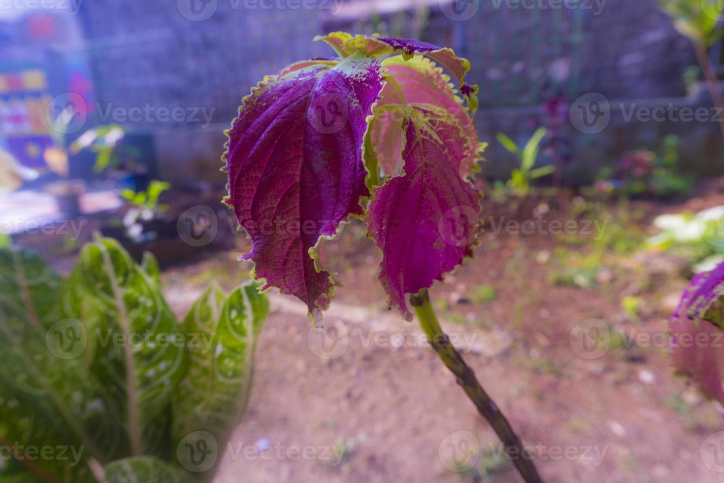 bella vista della pianta di miana coleus foto