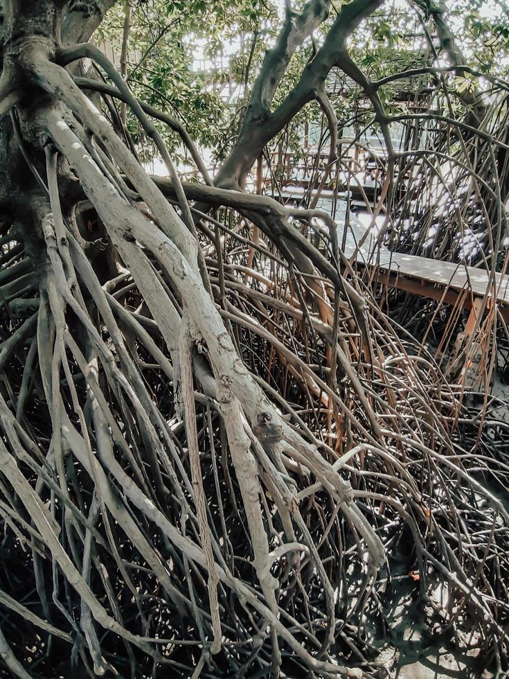 primo piano di lunghe radici di alberi di mangrovie. la foresta di mangrovie a samut prakan, thailandia foto