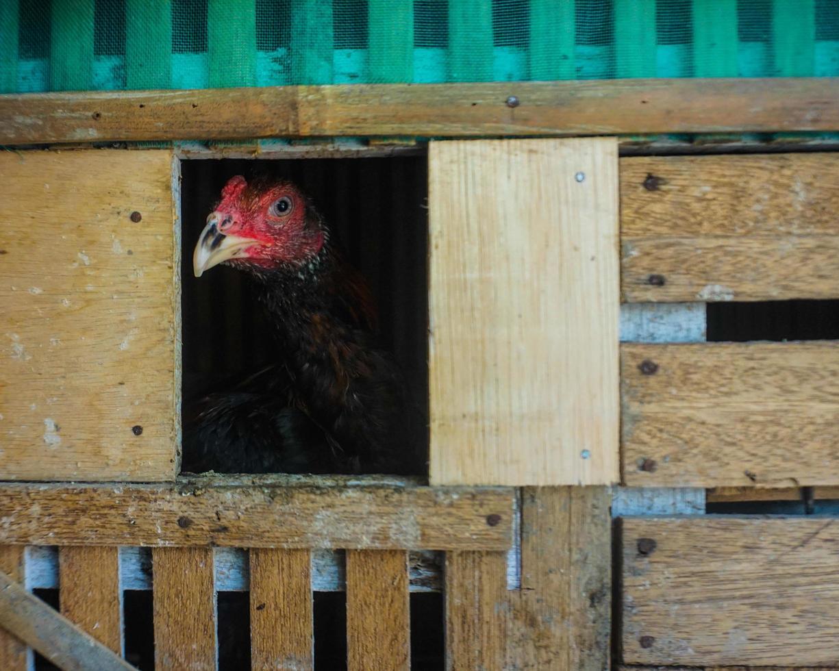 pollo nel pollaio foto