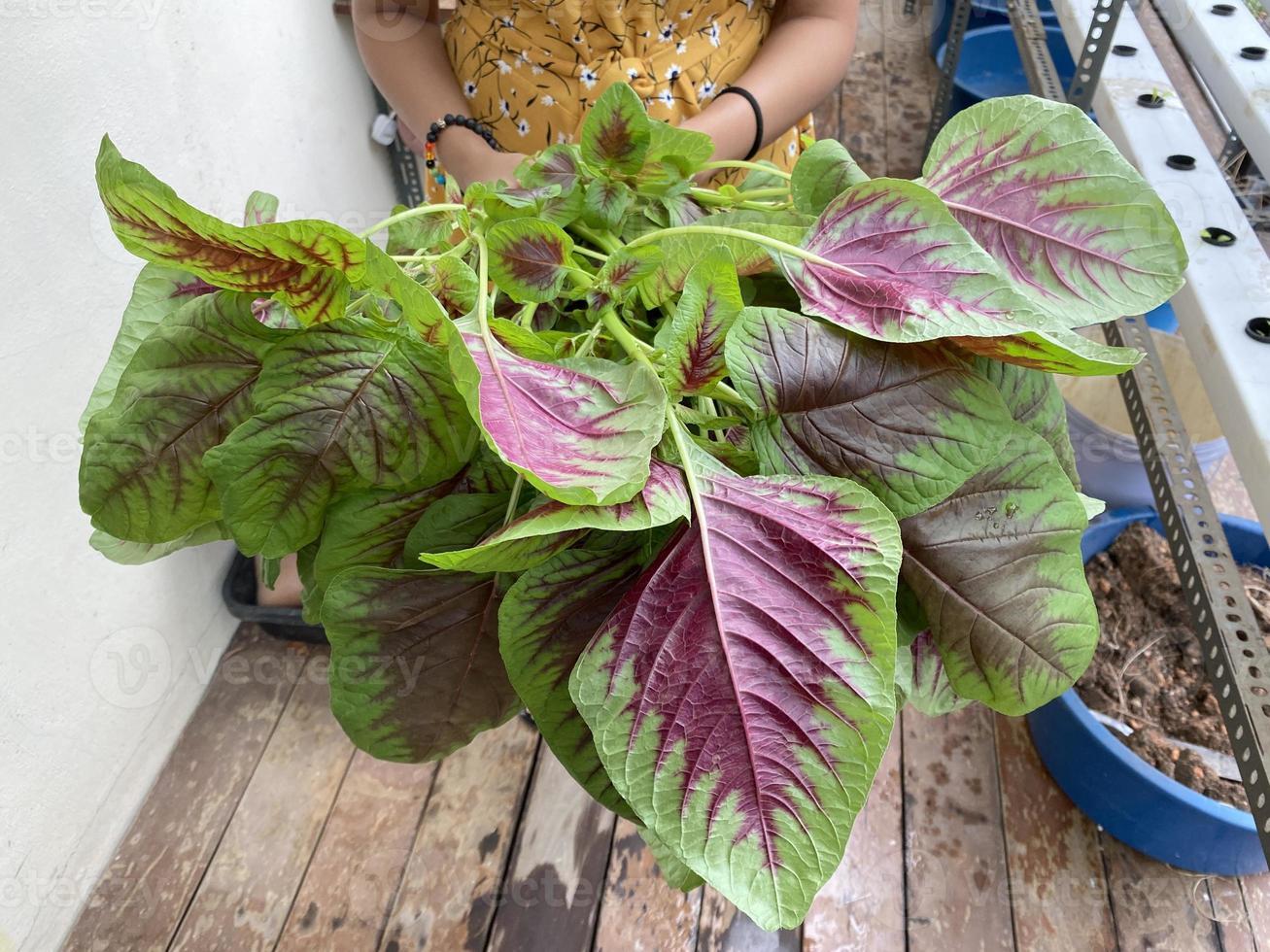 una persona che tiene in mano amaranto di spinaci cinesi appena coltivati usando il sistema idroponico maranth usando il sistema idroponico foto