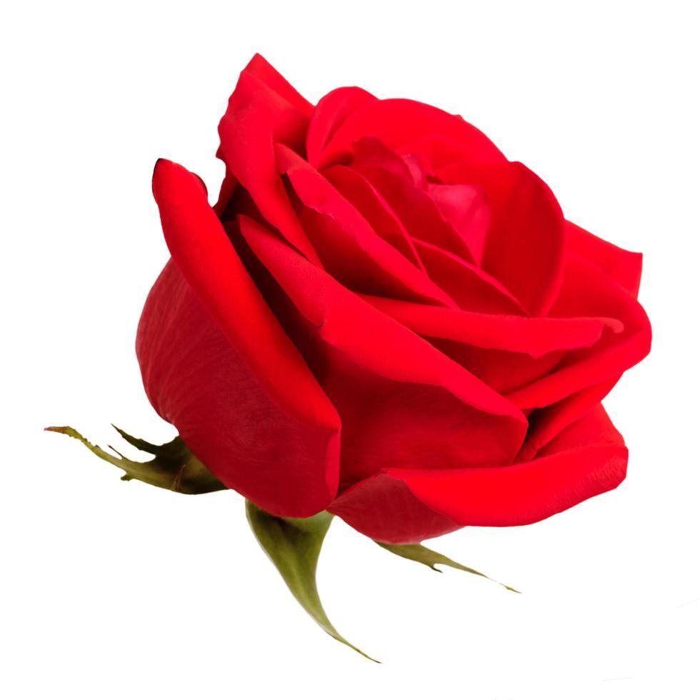 boccioli di rose su sfondo bianco foto