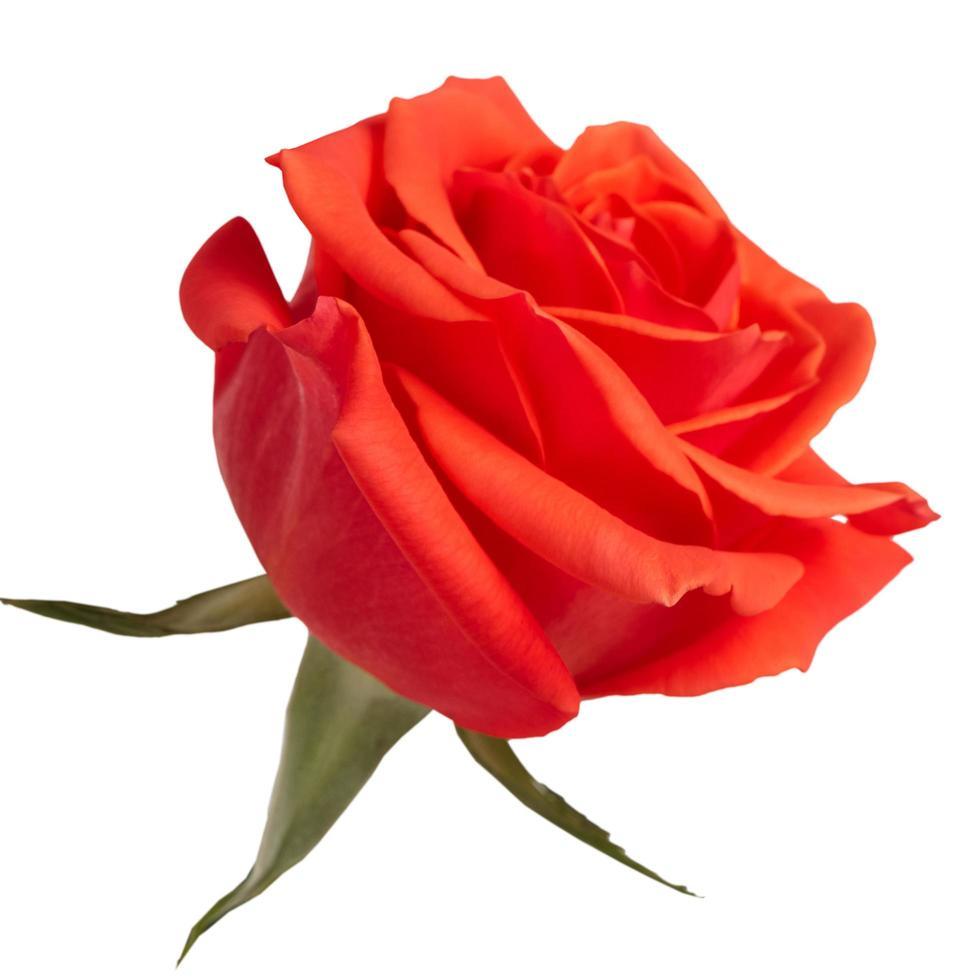 bocciolo di rose scarlatte su sfondo bianco foto