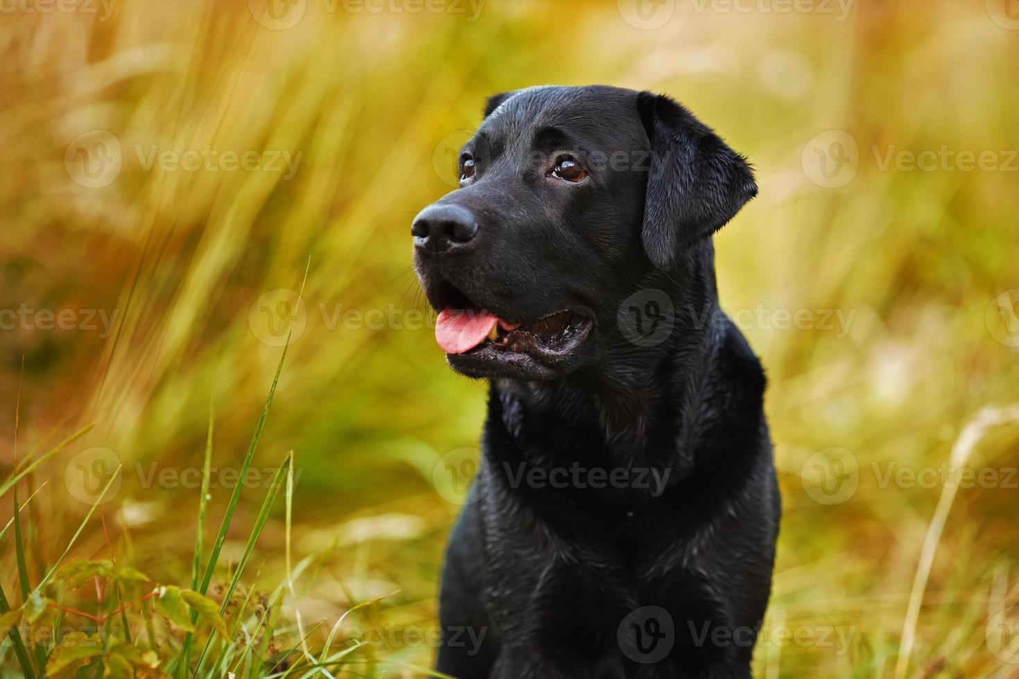 labrador nero su uno sfondo di erba foto