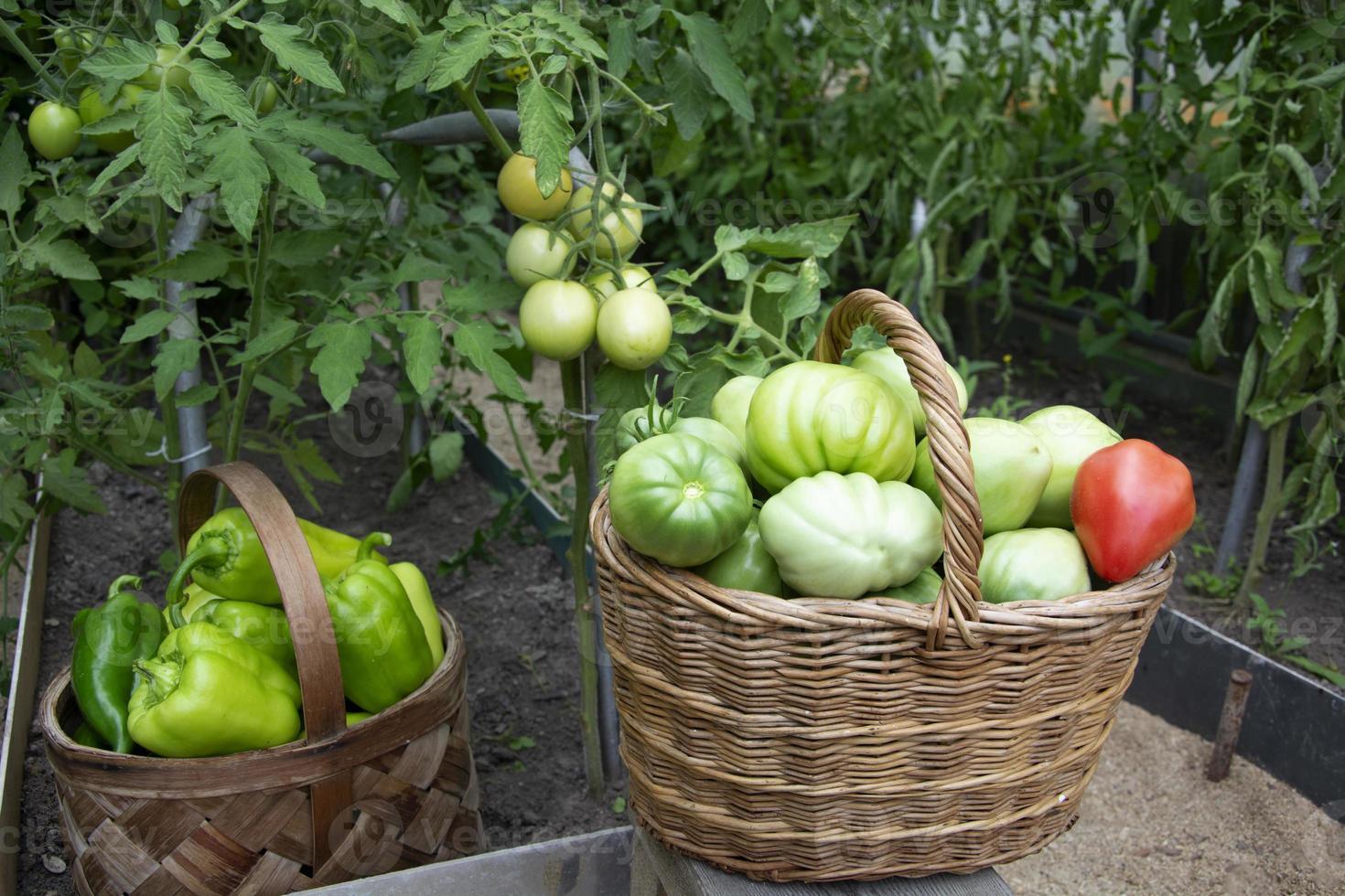 pomodori e peperoni in primo piano cesti di vimini. raccolta del pomodoro in una serra. foto