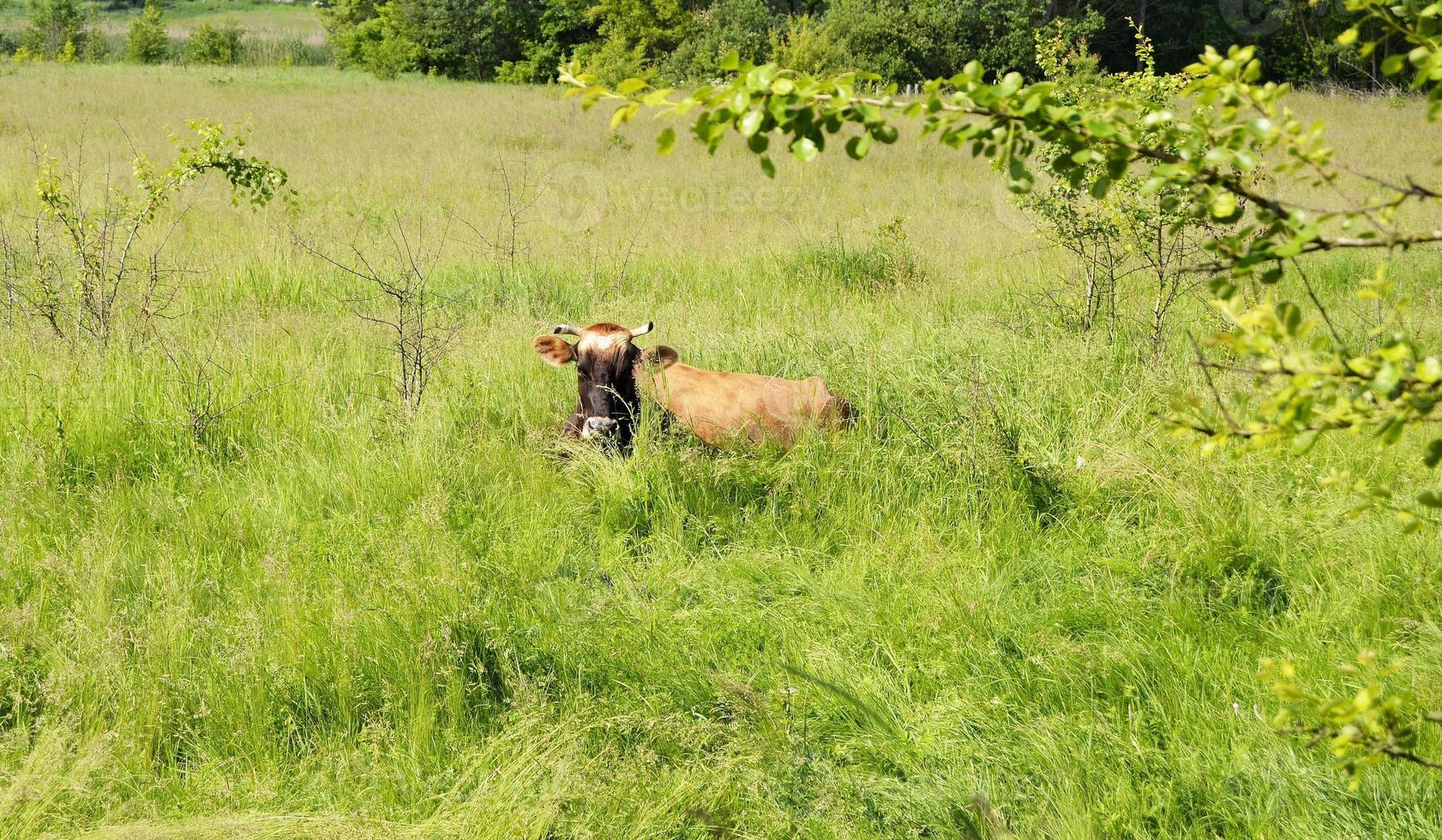 bella grande mucca da latte pascola sul prato verde foto