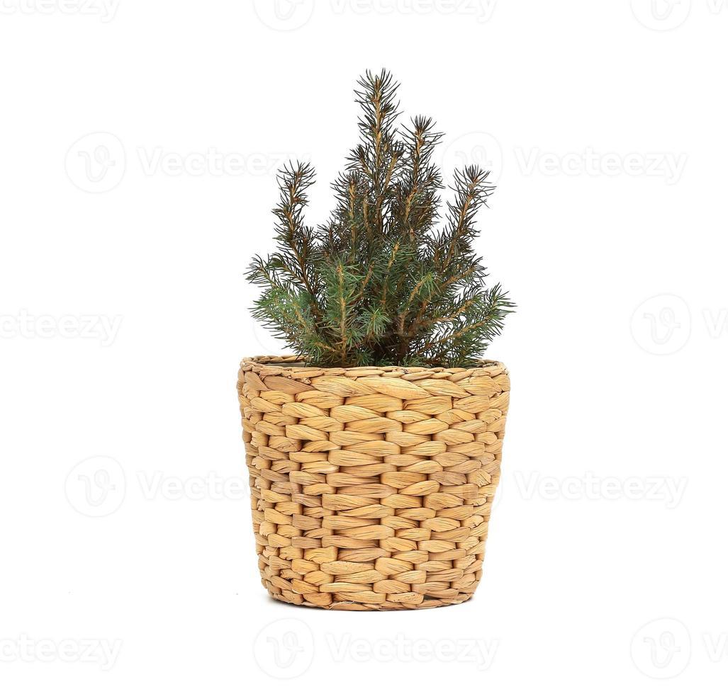 albero di abete verde su sfondo bianco. albero in un secchio di zinco come decorazione dell'ingresso del negozio foto