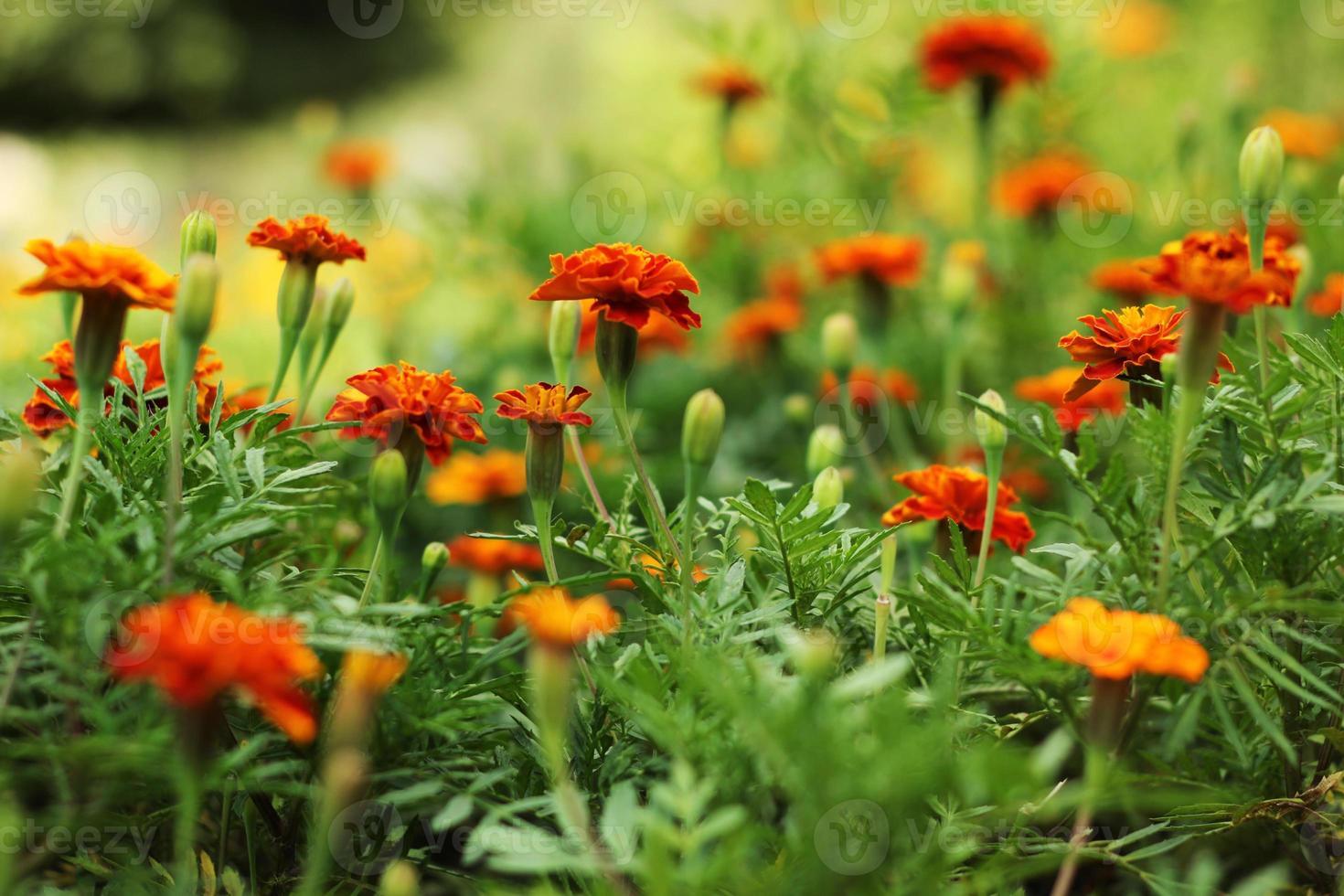 primo piano di bellissimi fiori di calendula in giardino. macro di calendula in aiuola giornata di sole. sfondo magrigold o carta tagetes. foto