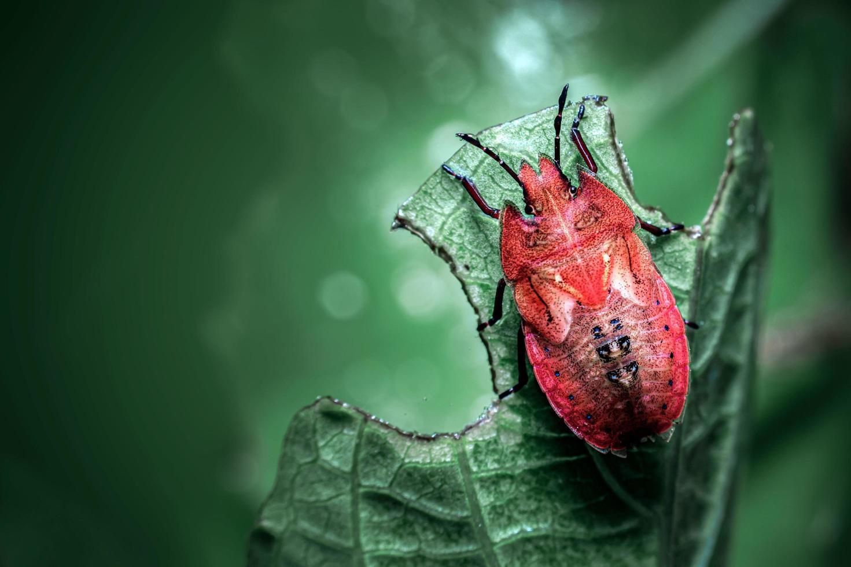 coccinella su una foglia verde foto