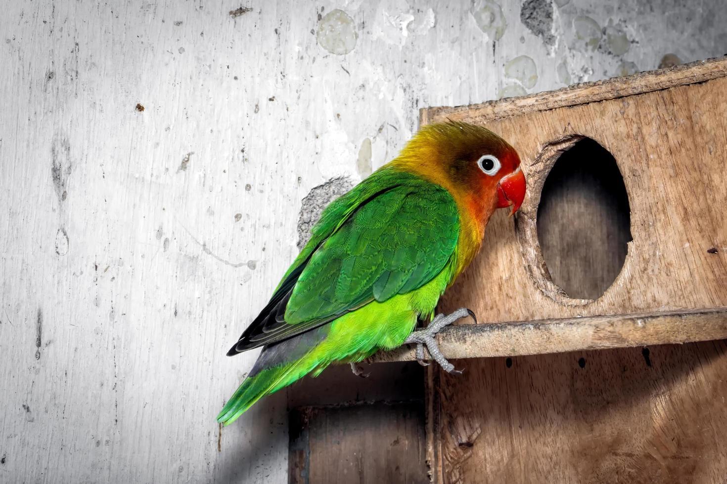 il primo piano degli uccelli dell'amore è colorato e bello foto