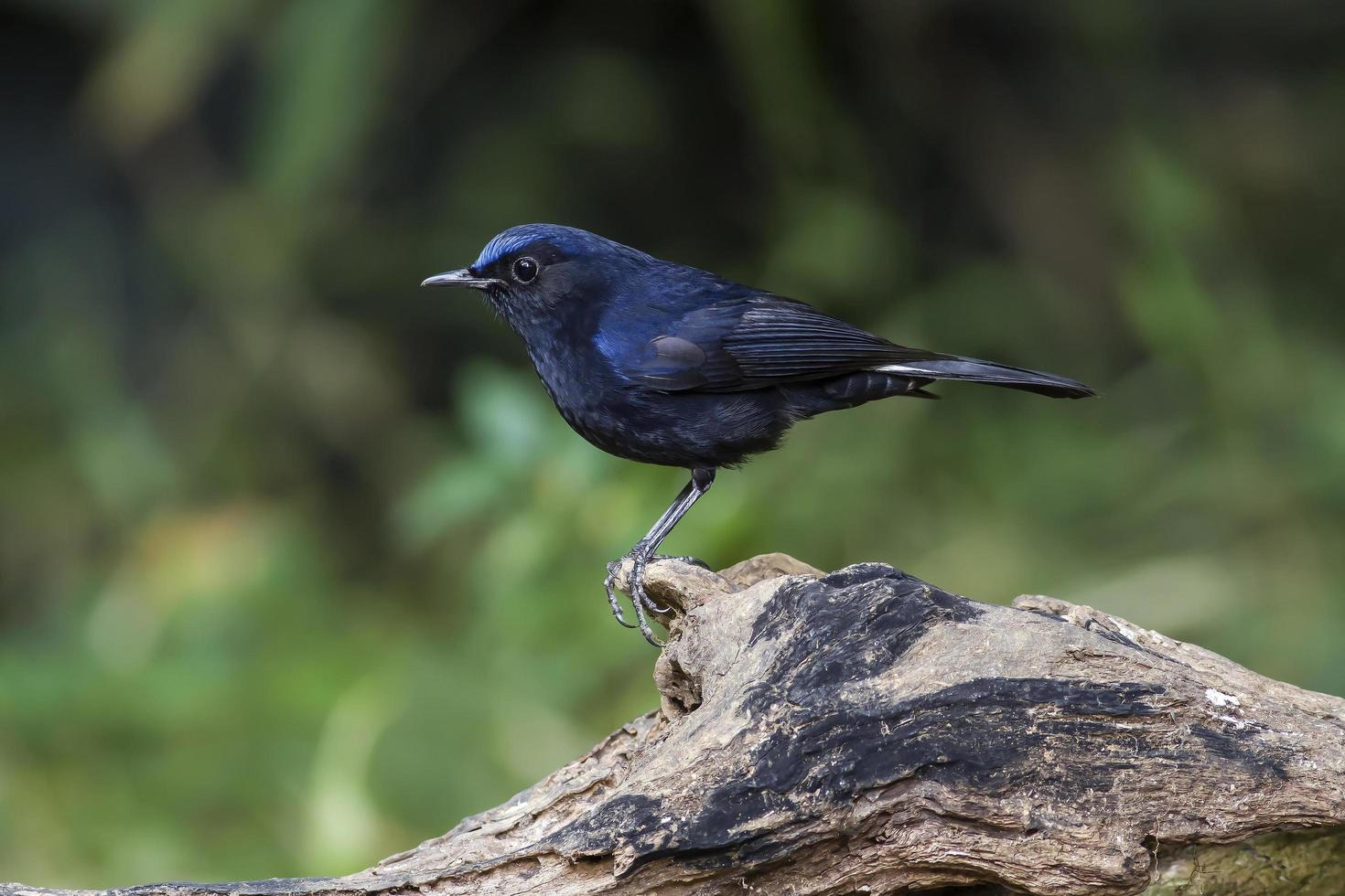 uccello nella natura pettirosso dalla coda bianca foto