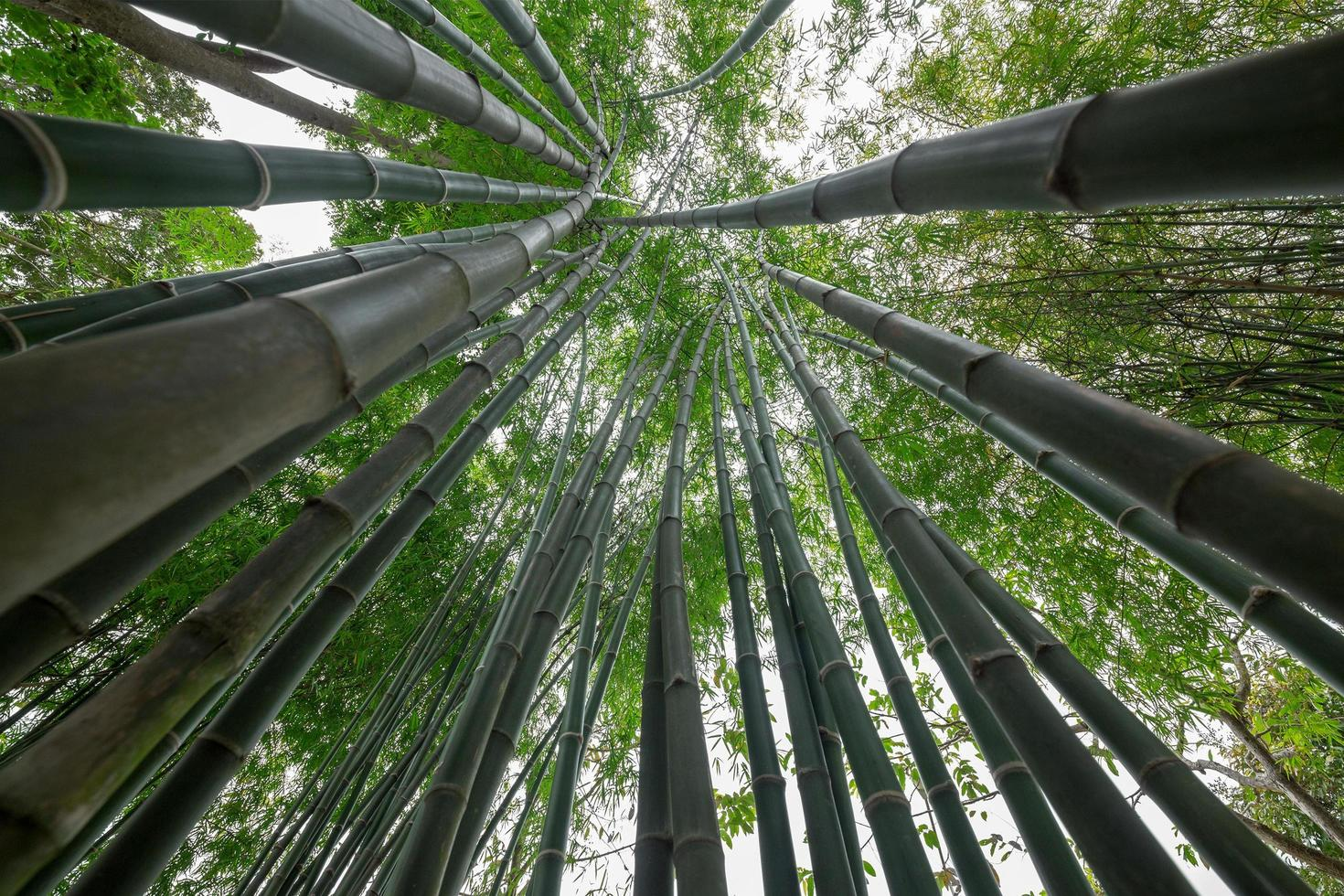 bambù verde nella foresta foto