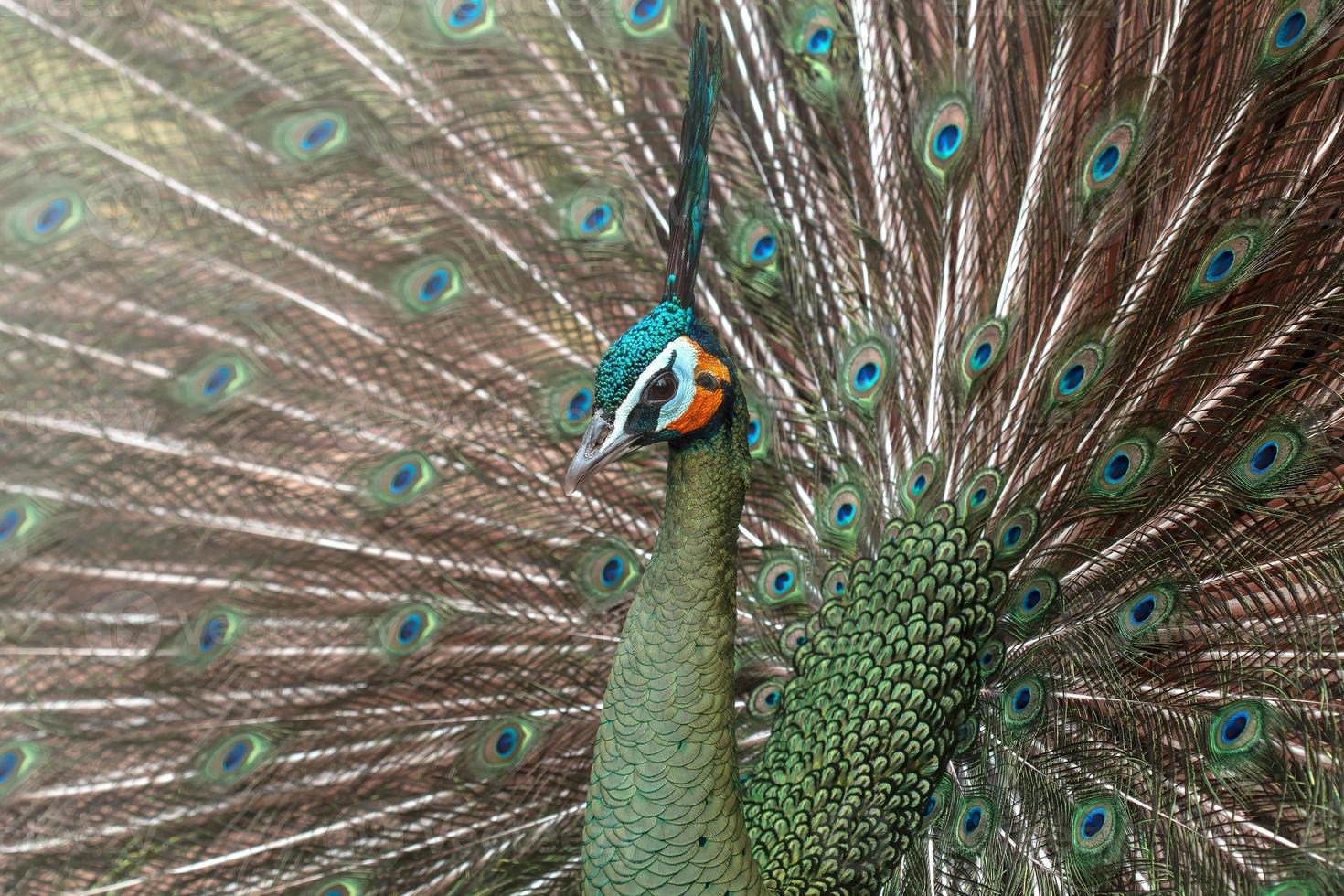 pavoni in natura, pavone verde o pavo muticus foto