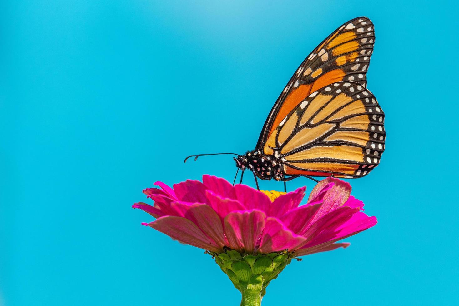 farfalla monarca appollaiata su un fiore di zinnia rosa caldo con sfondo blu foto