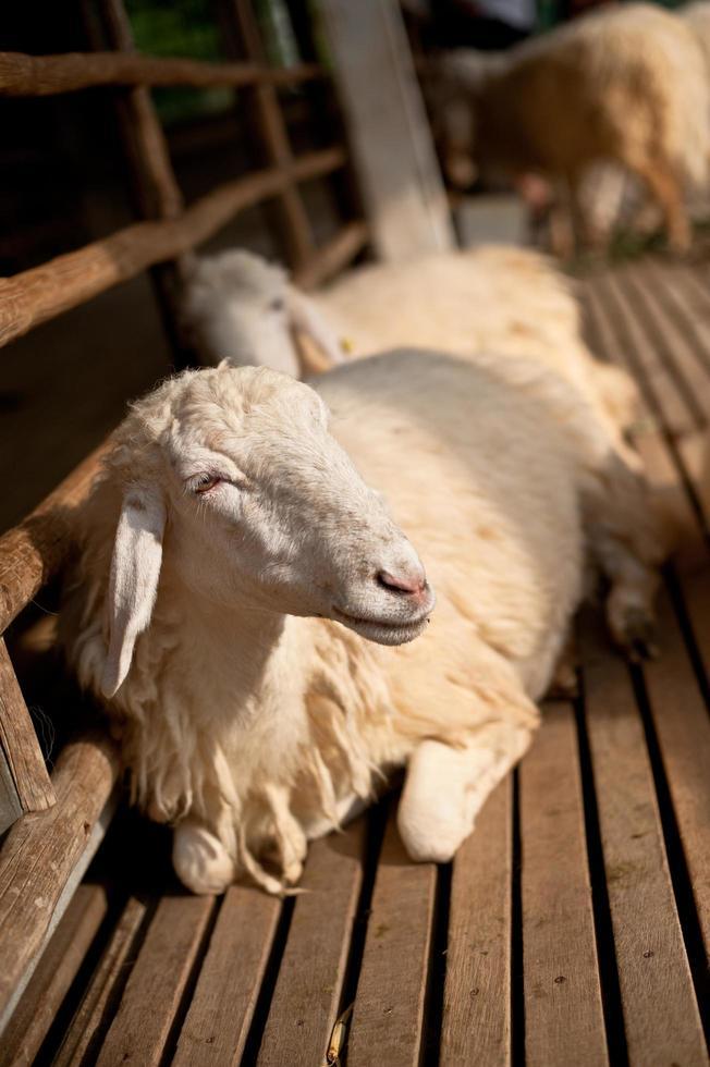 pecore marroni e bianche sdraiate a terra. foto