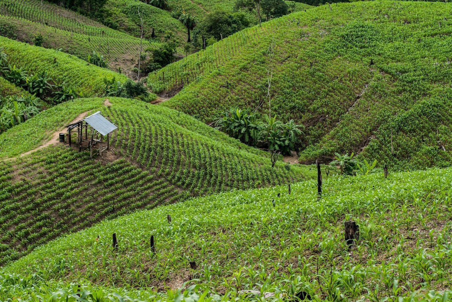 Terrazza campi di riso nel distretto di Mae Chaem Chiang Mai, Thailandia foto