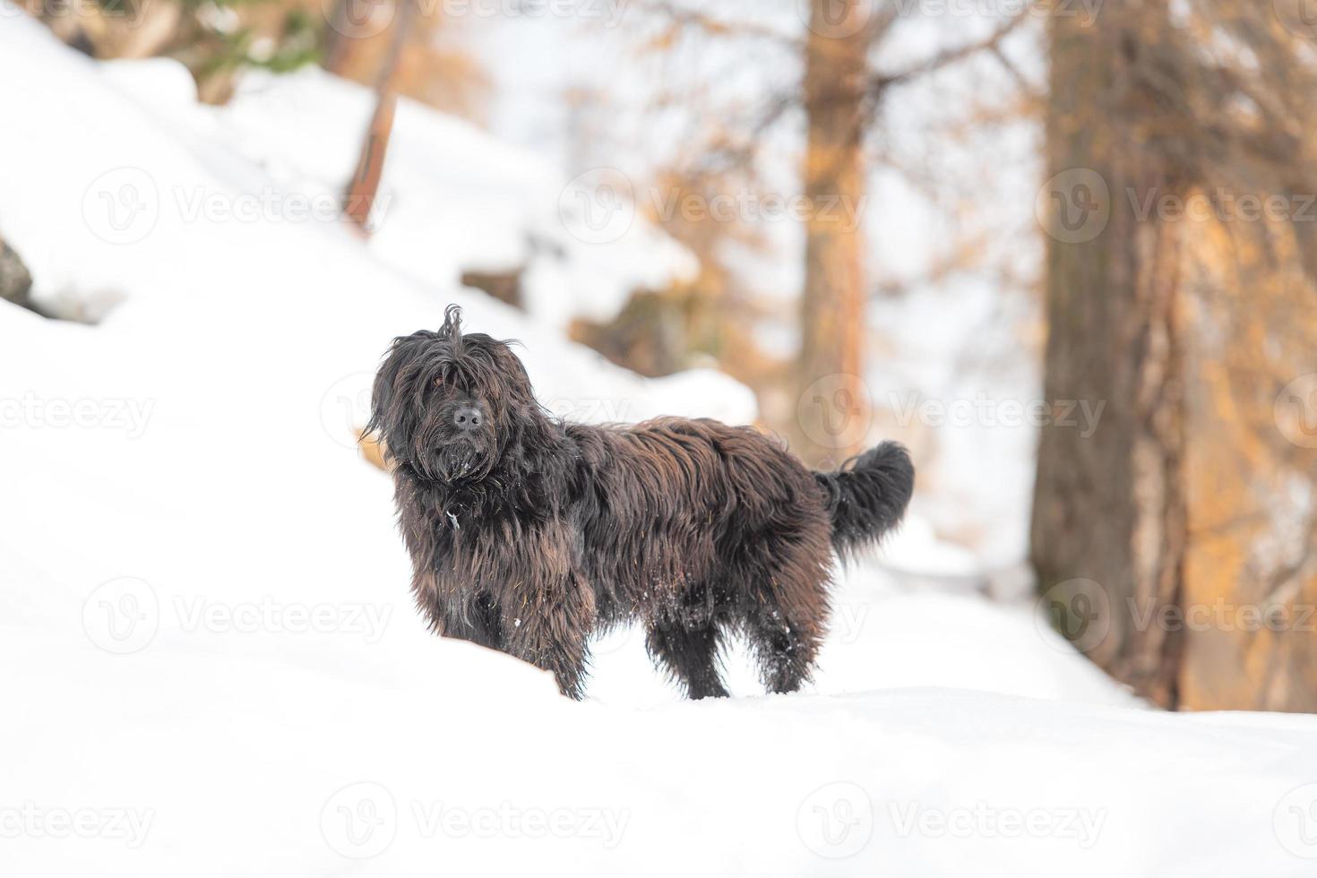 cane da pastore nella neve in un bosco foto