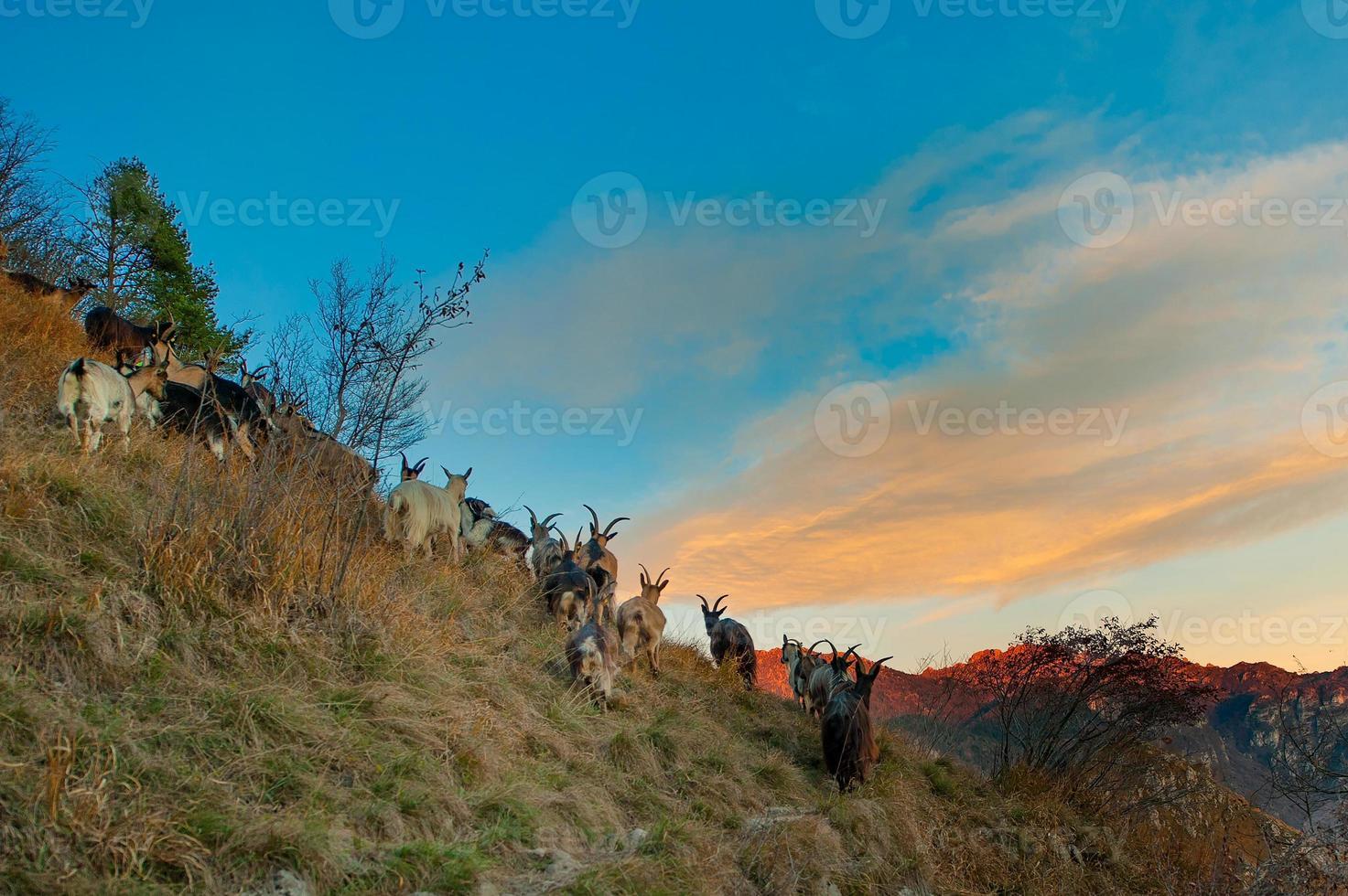 capre di montagna nell'ultima luce del giorno foto