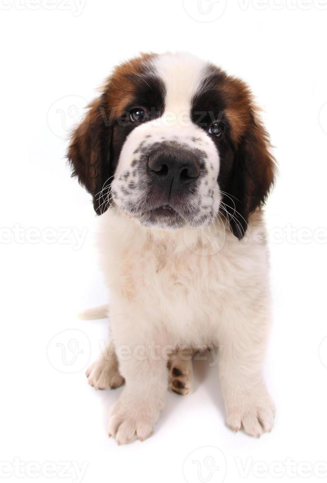 simpatico cucciolo di san bernardo su bianco foto
