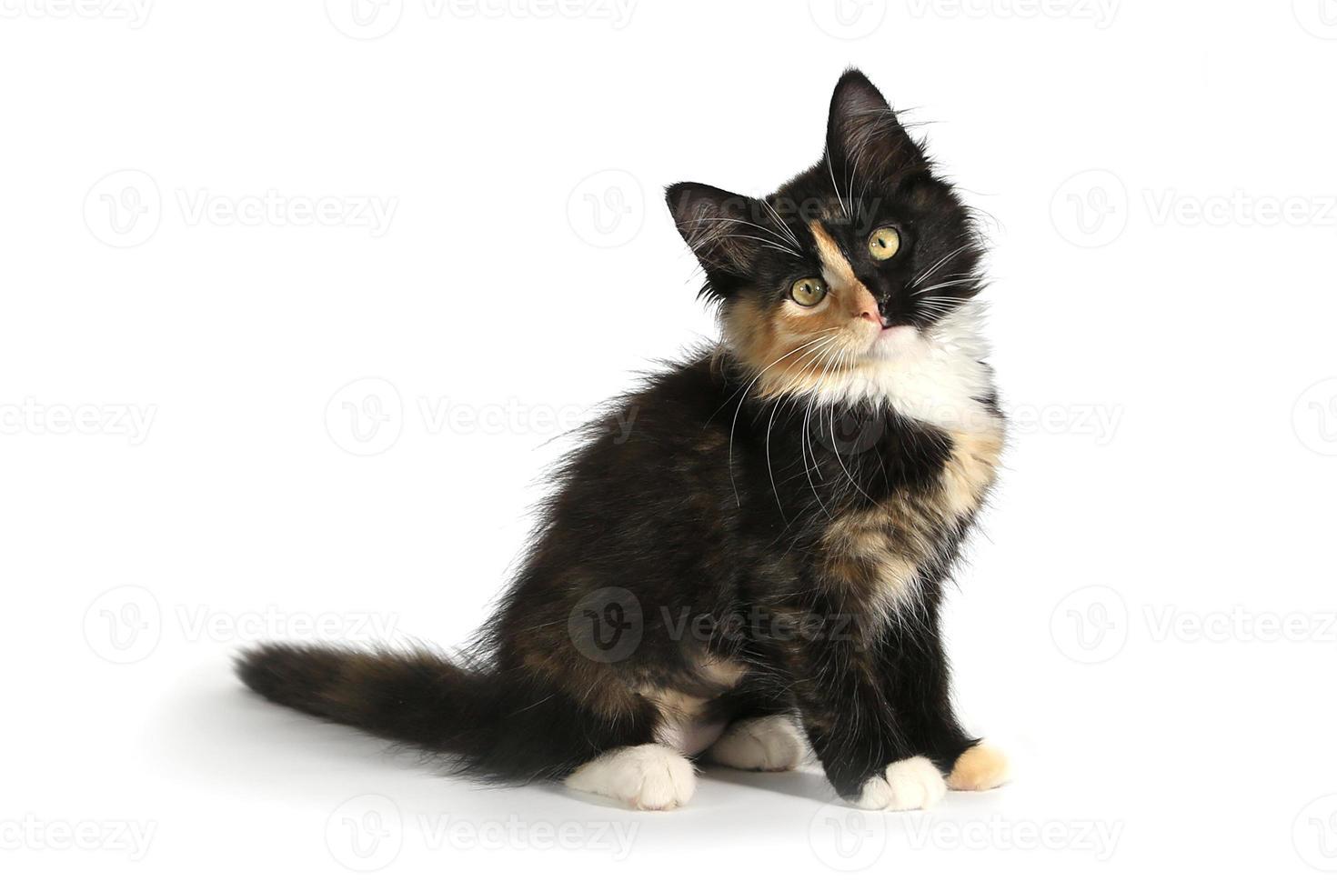 adorabile gattino domestico a pelo lungo con la faccia divisa foto
