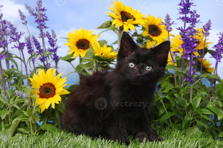 simpatico gattino nero in giardino con girasoli e salvia foto