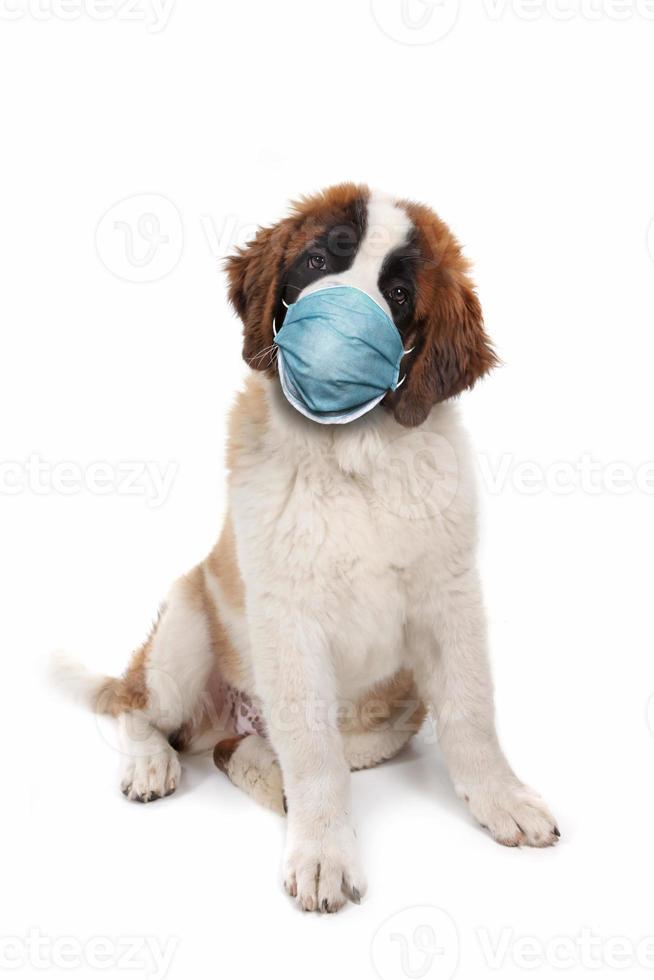 cucciolo di san bernardo seduto con indosso la maschera dpi foto